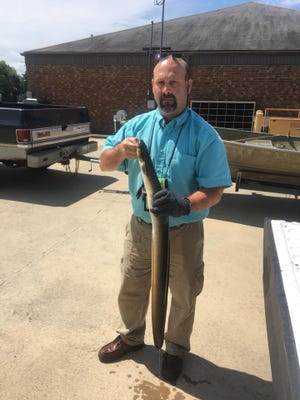Wilson Bowling shows the big American eel he and his wife Suzette caught in Bull Shoals Lake on June 24.