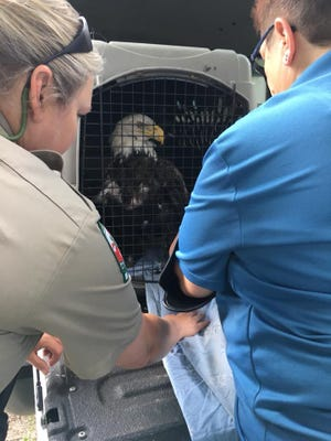 Pocomoke River State Park Ranger Christina Holden and Naturalist Elizabeth Stoud secure the rescued bald eagle, which was sent to Tri-State Bird Rescue in Delaware for treatment.
