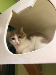 Rosie is a 5-year-old cat who is ready to be adopted from the Elmbrook Humane Society.