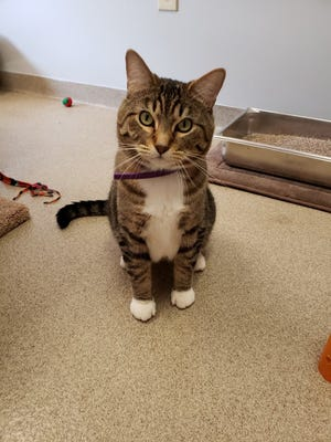 Izzy is a timid 4-year-old tabby cat who is ready to be adopted from the Elmbrook Humane Society.