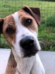 Sandie is a 2-year-old, spayed, female hound mix. She
