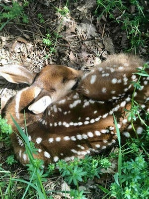 Colleen VanDurme, of Dansville, found this precious baby fawn on the family's property. It looks pretty comfortable as it awaits the return of its mother. The DEC advises a look but don't touch approach when coming across newborn wildlife.