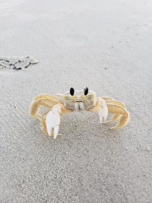 Adam Schmidt of New Philadelphia took this photo of a crab on Hilton Head Beach while he was fishing from shore one morning. Have you taken a nature photo you'd like to share with our readers? Send a .jpg image to hank.keathley@TimesReporter.com. Make sure you include information on who took the photo and where it was taken for caption information.