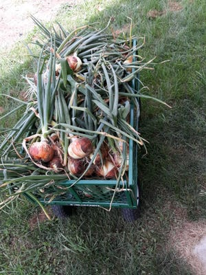 A wagon full of sweet onions from Lovina's garden. Provided photo