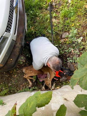 Ashland fire Lt. David Iarussi pulls a baby deer free from a culvert on Monday. Unfortunately, the fawn had to be put down.