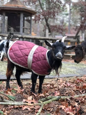 Blossom, the goat, is missing from the Winslow Farm Animal Sanctuary in Norton and a reward is being offered to help bring her home. SHe was not wearing the jacket when she went missing.