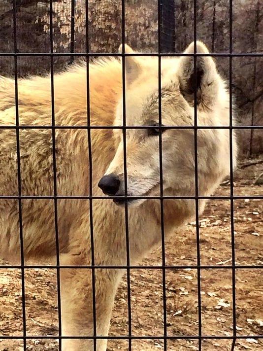 -zoo montana wolf.jpg_20141020.jpg
