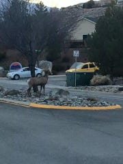 A bighorn sheep ram was photographed wandering through a Sparks neighborhood Friday.