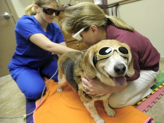A veterinary technician from Shiloh Veterinary Hospital gives dogs laser treatments during physical therapy. YORK DAILY RECORD/SUNDAY NEWS -- JASON PLOTKIN