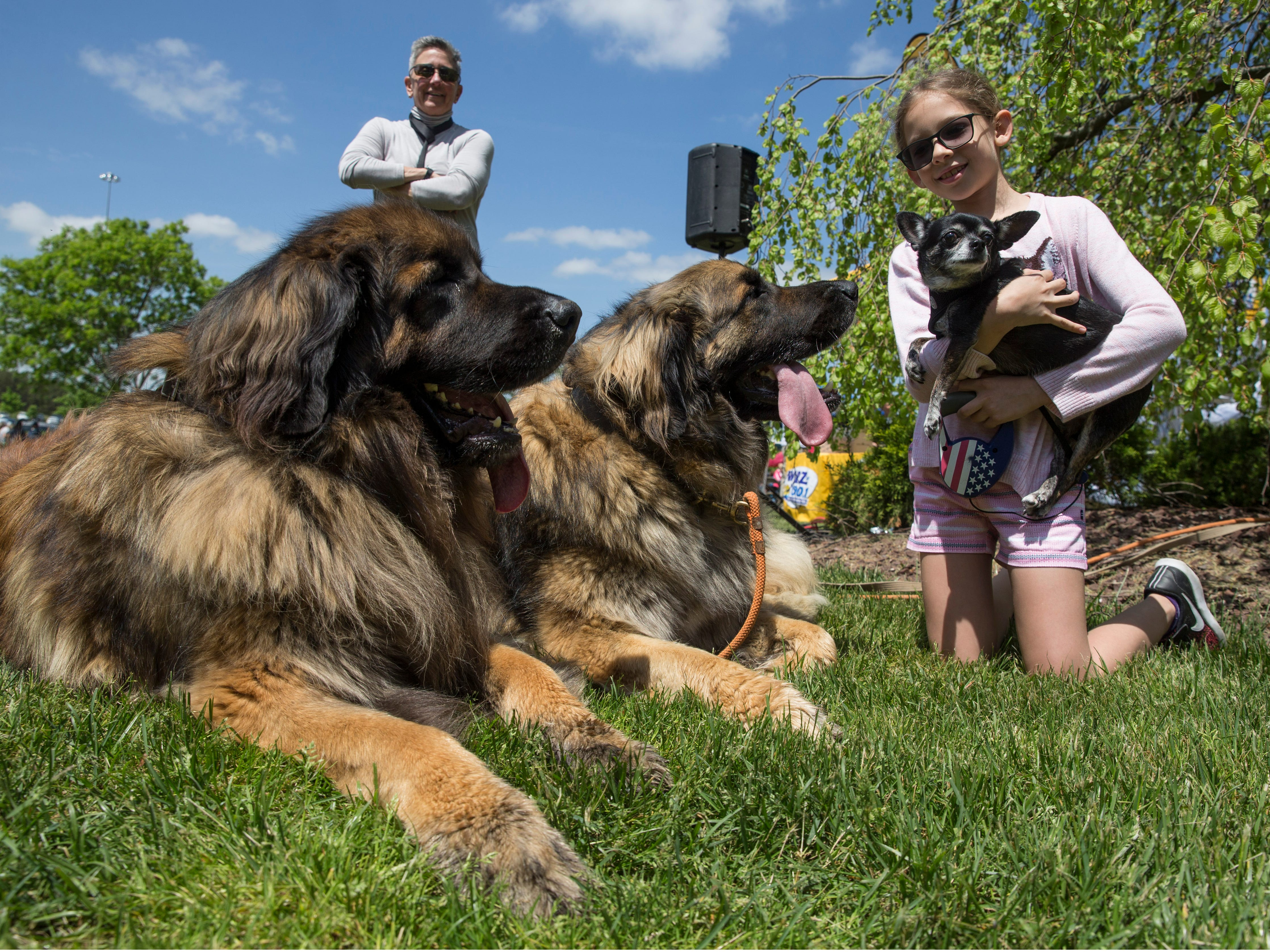 """Lily Silva, 8, of Roselle introduces """"Cookie"""" to two large Leonburger dogs owned by Erica Friedman of Cream Ridge. Lakewood BlueClaws Bark in the Park takes place on stadium grounds prior to the game. Dogs were also allowed to attend the game with a """"pooch pass"""". Many adoption agencies were on hand offering dogs looking for homes to qualified humans. Lakewood, NJSaturday, May 11, 2019"""