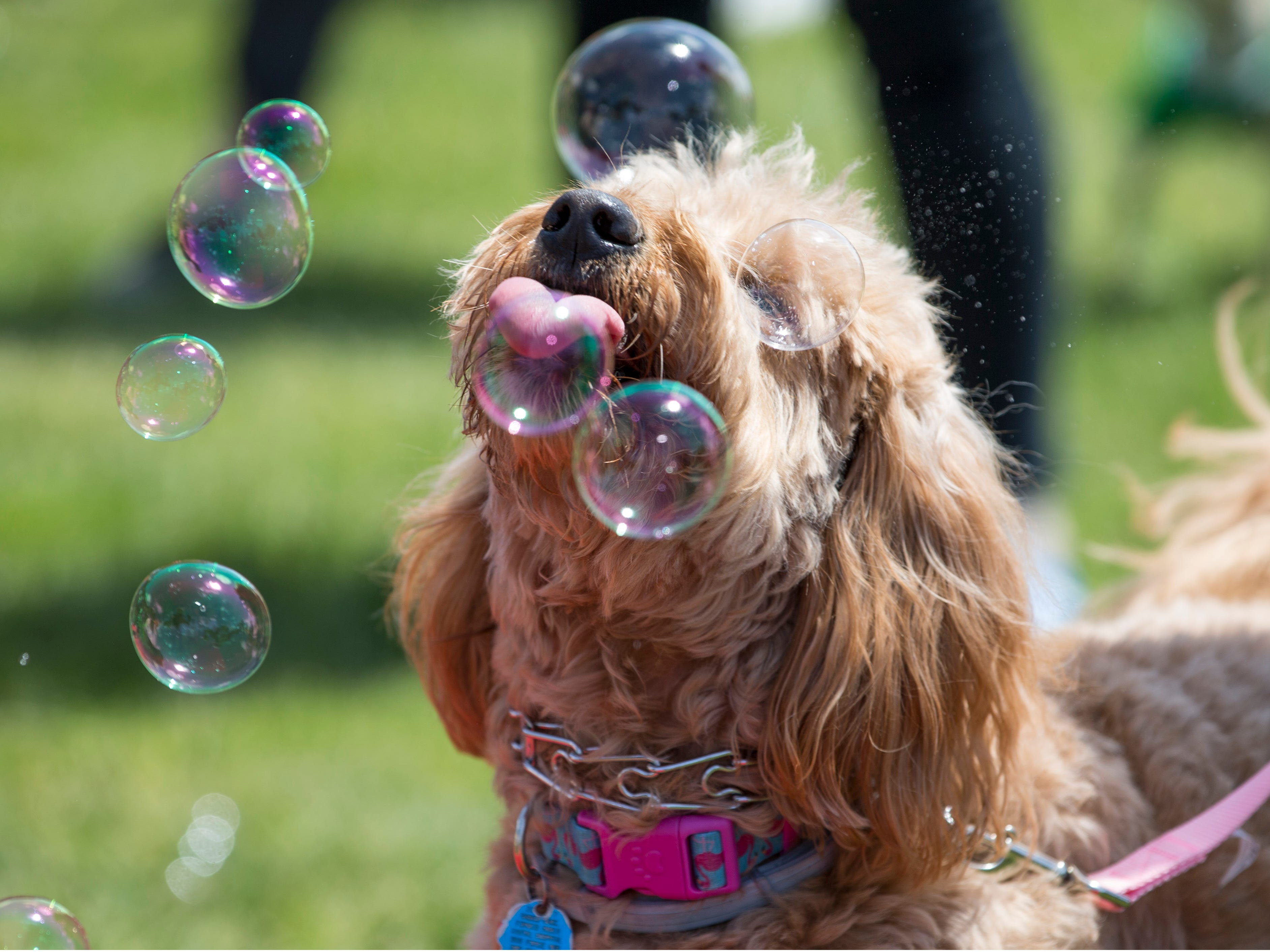 """Dogs compete in a bubble popping contest. Lakewood BlueClaws Bark in the Park takes place on stadium grounds prior to the game. Dogs were also allowed to attend the game with a """"pooch pass"""". Many adoption agencies were on hand offering dogs looking for homes to qualified humans. Lakewood, NJSaturday, May 11, 2019"""