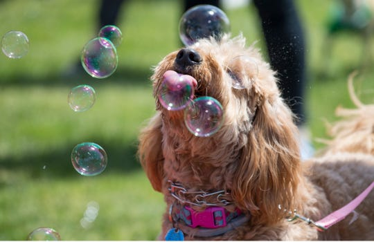 "Dogs compete in a bubble popping contest. Lakewood BlueClaws Bark in the Park takes place on stadium grounds prior to the game. Dogs were also allowed to attend the game with a ""pooch pass"". Many adoption agencies were on hand offering dogs looking for homes to qualified humans. 