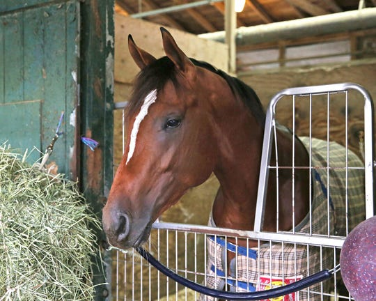 Maximum Security, shown in his stall at Monmouth Park in Oceanport, New Jersey, will resume training later this week and will make an appearance between races at Monmouth Park this Saturday.