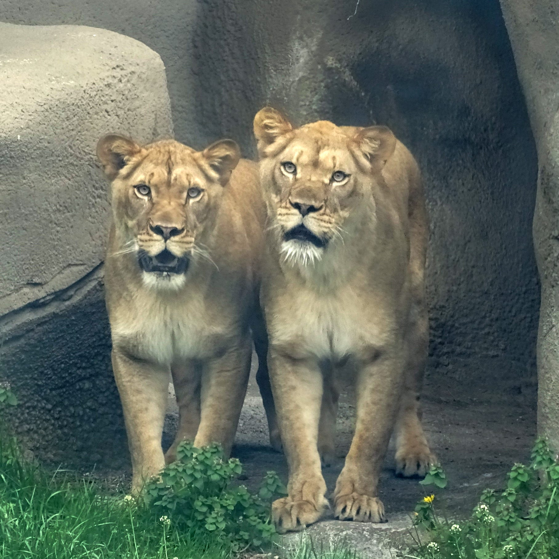 Detroit Zoo adds 2 new lions to den in hopes of making new lion cubs
