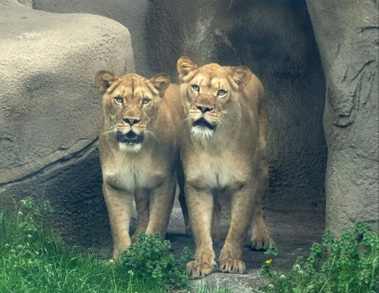 "African lions Asha and Amirah, 3-year-old sisters from the Buffalo Zoo, have joined ""mane"" man Simba, 10, in the African Grasslands at the Detroit Zoo."