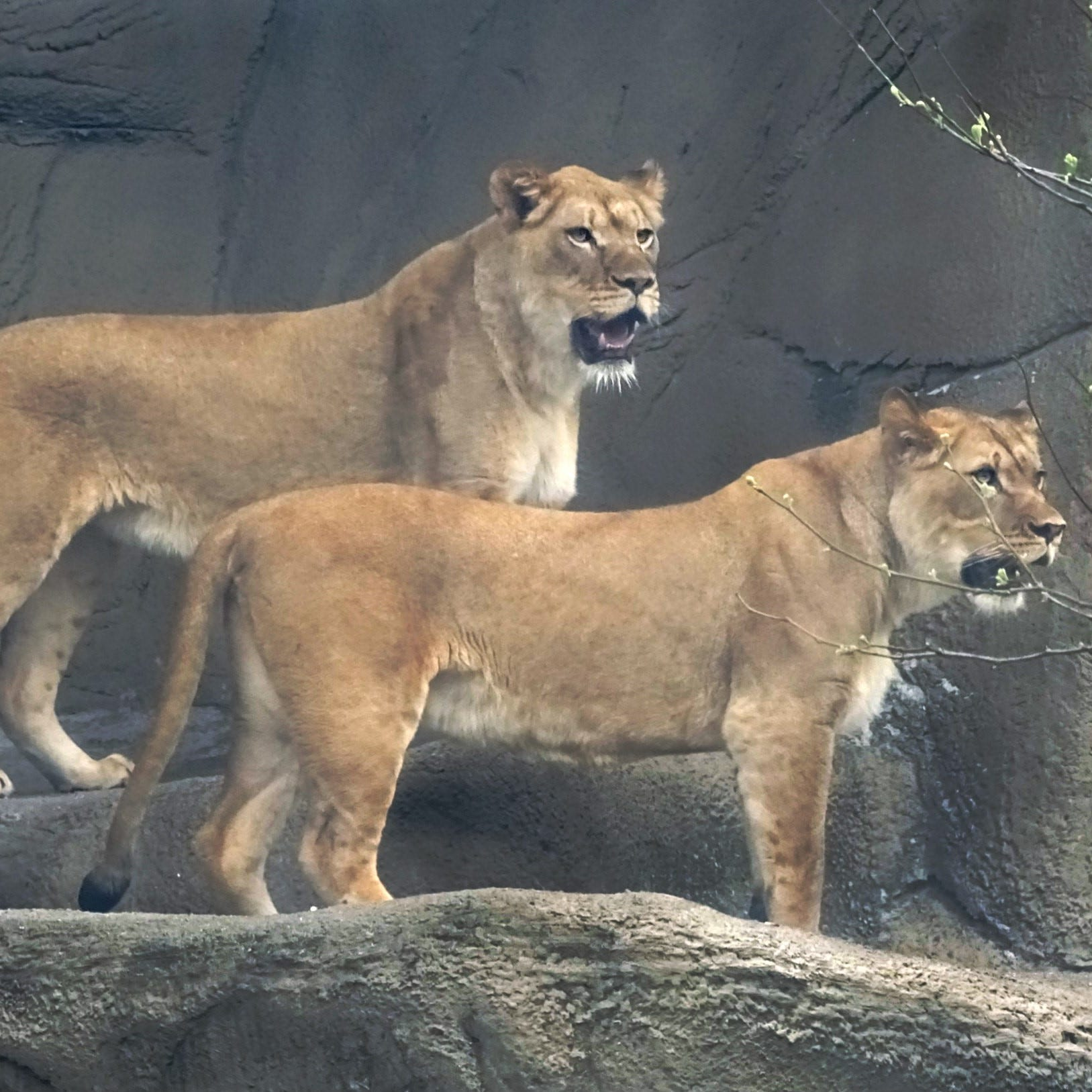 Detroit Zoo welcomes 2 new African lions