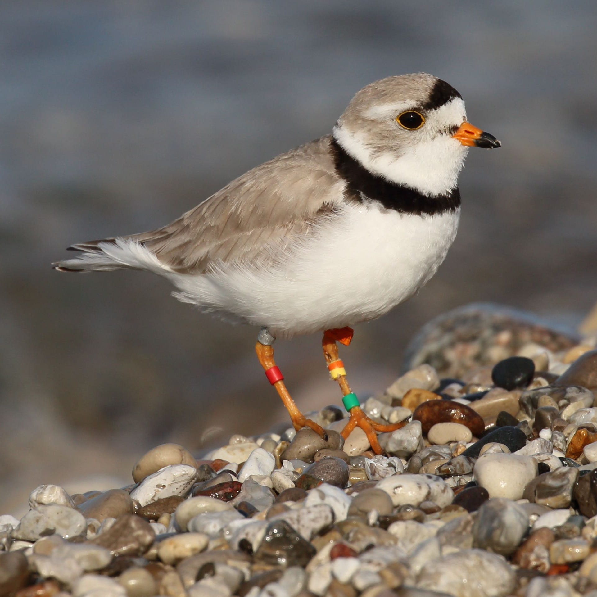 High water in Great Lakes spells trouble for endangered bird