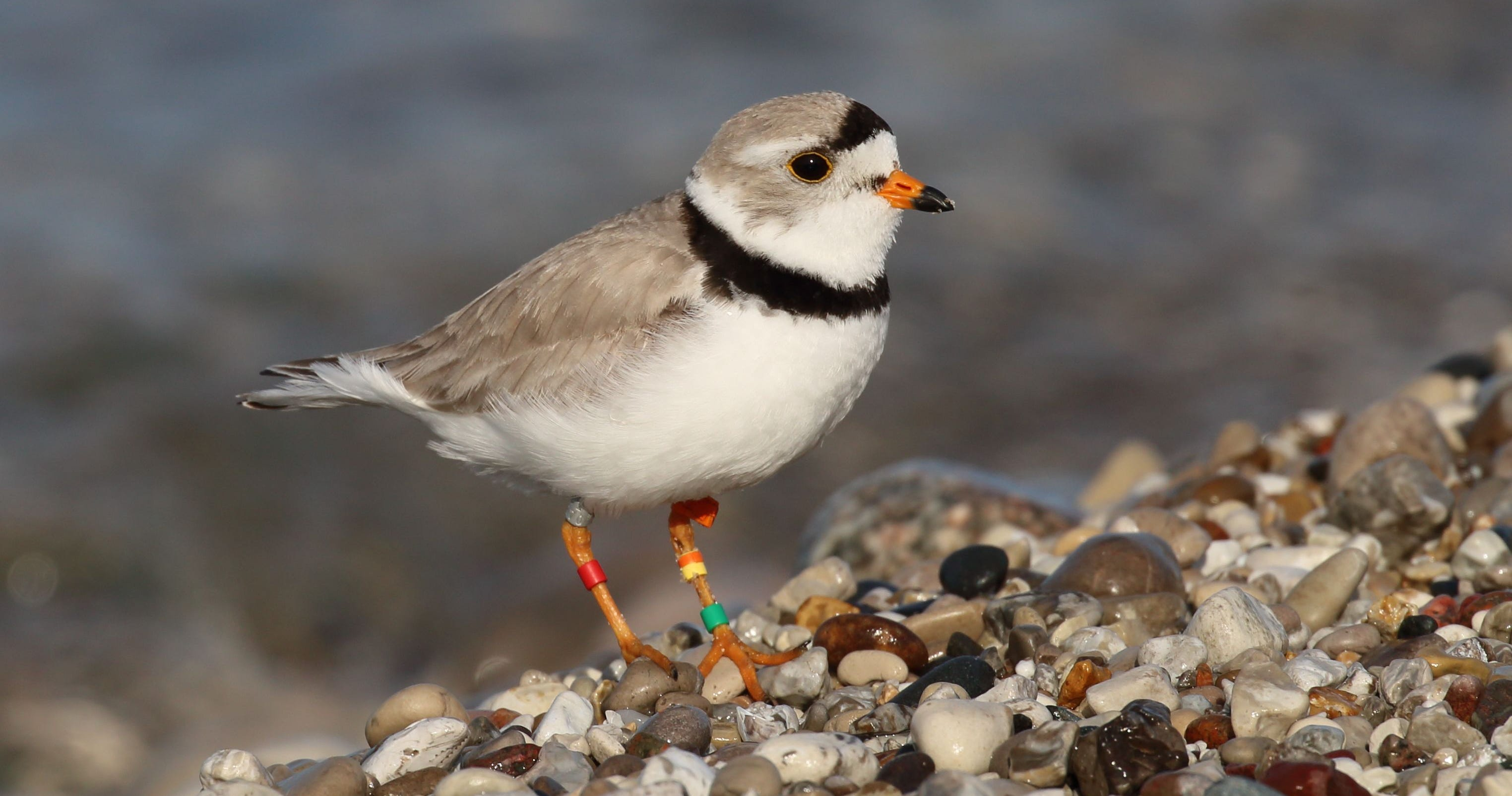 The piping plover builds its seasonal nests in the sands along Great Lakes shorelines