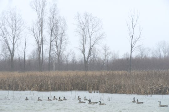 In this photo, Canada geese sit in the rain at Ottawa National Wildlife Refuge. The refuge wants to open up new fishing areas for the public and has an open house scheduled Saturday from 9 a.m. to noon.