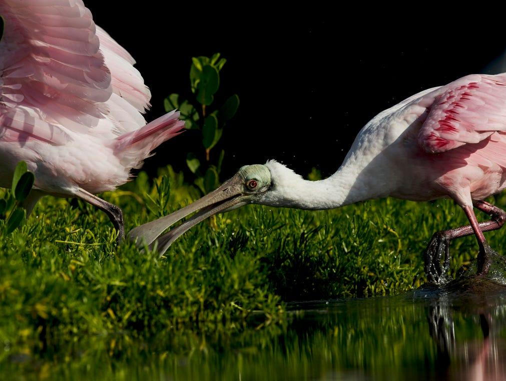 Roseate spoonbills feed in a tidal pool on the north end of Lovers Key in early May 2019. According to the South Florida Water Management District, wading birds had a good breeding season.