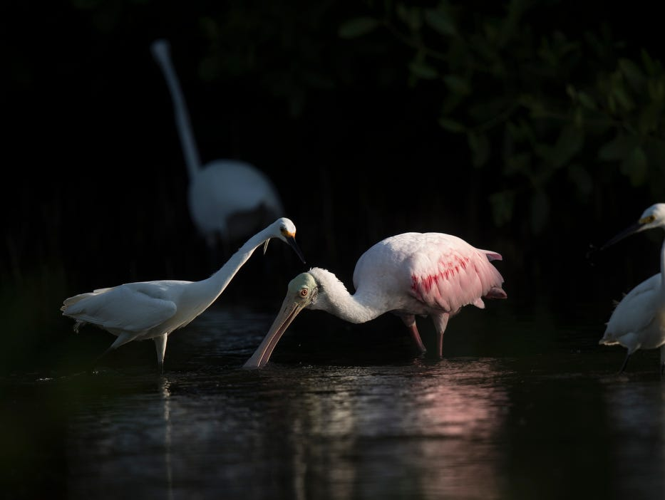 A roseate spoonbill feeds in a tidal pool on the north end of Lovers Key in early May 2019. According to the South Florida Water Management District, wading birds had a good breeding season.