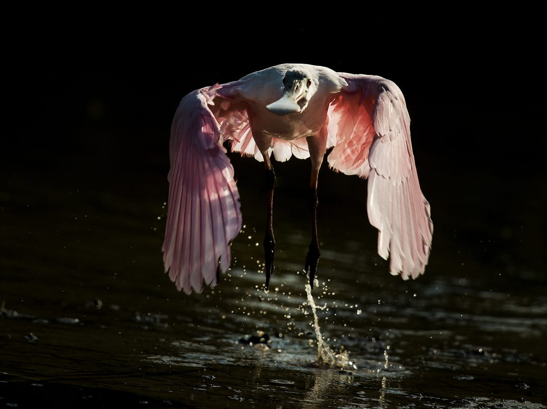 A roseate spoonbill takes flight from a tidal pool on the north end of Lovers Key in early May 2019. According to the South Florida Water Management District, wading birds had a good breeding season.