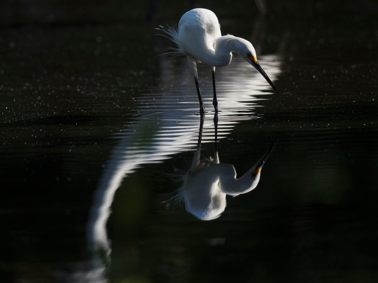 A snowy egret feed in a tidal pool on the north end of Lovers Key in early May 2019. According to the South Florida Water Management District, wading birds had a good breeding season.