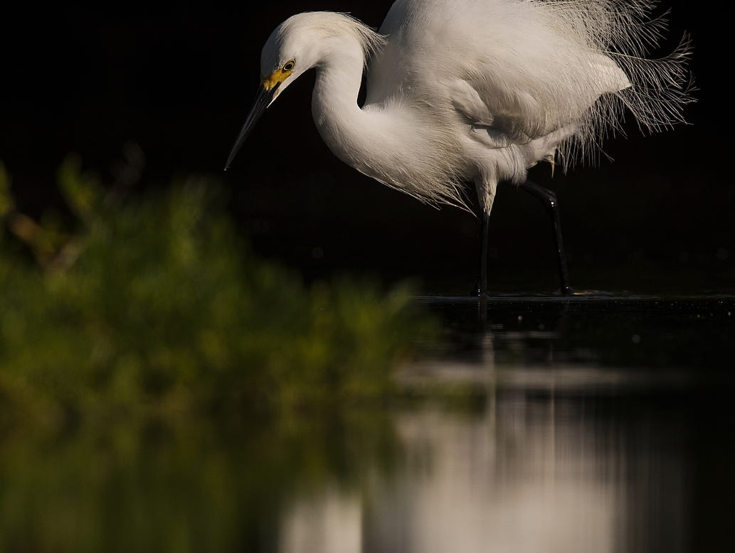 A snowy egret feeds in a tidal pool on the north end of Lovers Key in early May 2019. According to the South Florida Water Management District, wading birds had a good breeding season. .