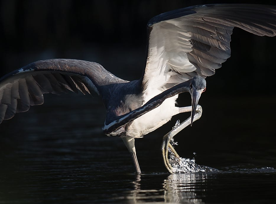 A tri-colored heron feeds in a tidal pool on the north end of Lovers Key in early May 2019. According to the South Florida Water Management District, wading birds had a good breeding season.