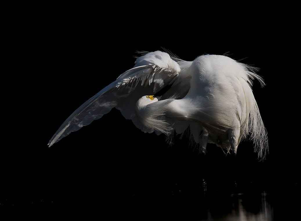A snowy egret feeds in a tidal pool on the north end of Lovers Key in early May 2019. According to the South Florida Water Management District, wading birds had a good breeding season.
