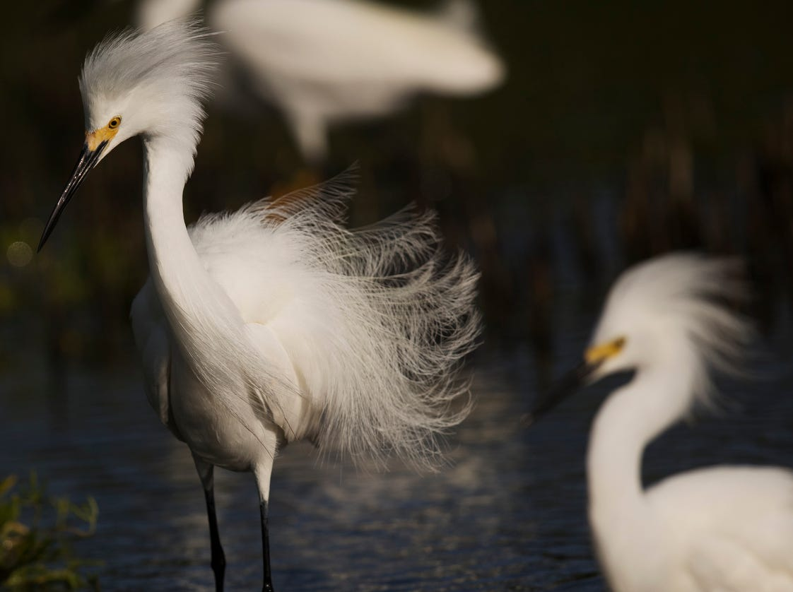Snowy egrets feed in a tidal pool on the north end of Lovers Key in early May 2019. According to the South Florida Water Management District, wading birds had a good breeding season.