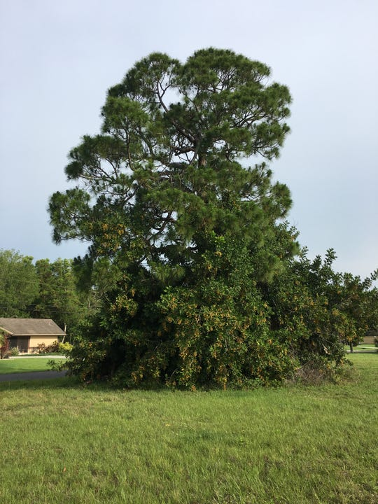 Surrounded! A native slash pine is encircled by carrotwood in Cape Coral