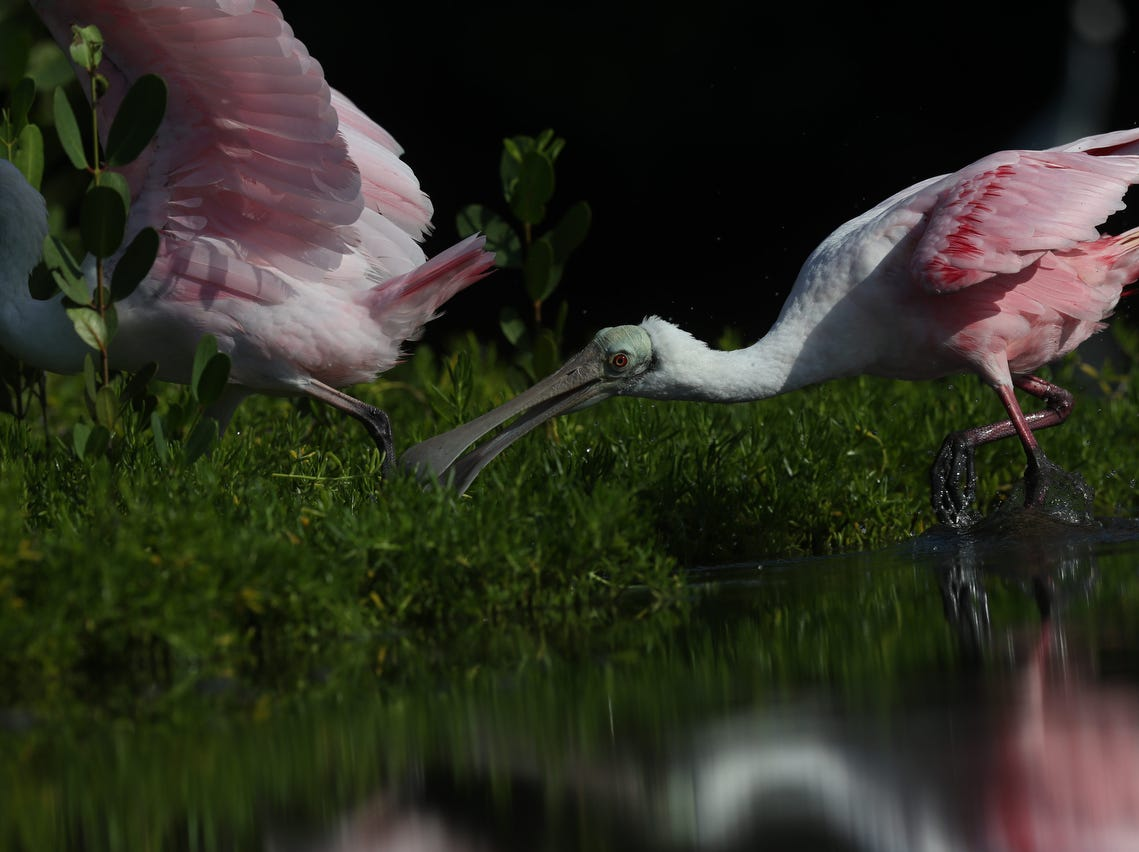 Wading birds feed in a tidal pool on the north end of Lovers Key in early May 2019. According to the South Florida Water Management District, wading birds had a good breeding season.