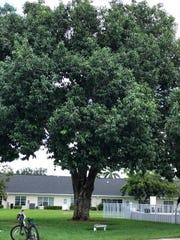 A Java plum tree.