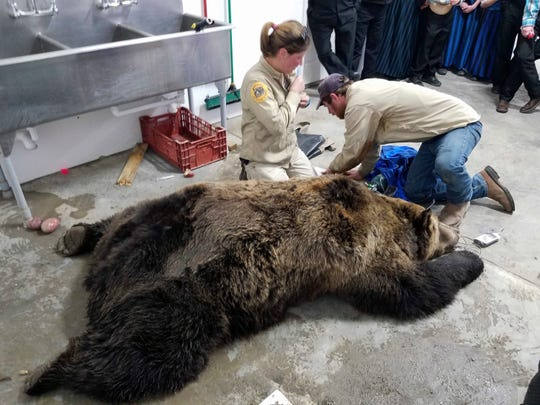 FILE -This Wednesday, Oct. 17, 2018 file photo, provided by Montana Fish, Wildlife and Parks, shows employees Wesley Sarmento and Sarah Zielke with a tranquilized 900-pound male grizzly bear in Valier, Mont., before relocating it. Conflicts between bears and humans have increased as the animals expand their territory, but tribal representatives want hunting banned permanently. (Montana Fish, Wildlife and Parks via AP,File)