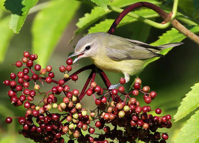 A Philadelphia vireo feeds on a fruit of an American elderberry tree planted in the yard of Ryan Brady in Washburn, Wis.