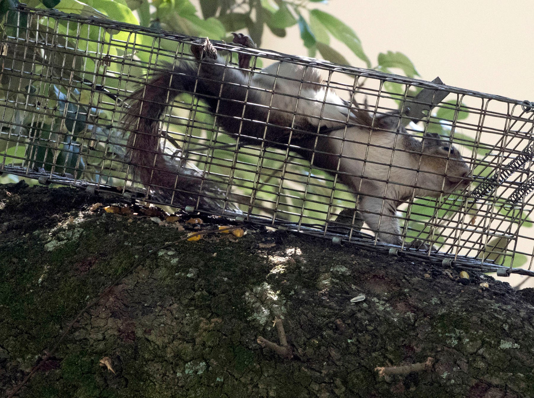 A trapped squirrel being removed from homeowner's property in North Hill on Wednesday, May 15, 2019. Nuisance Wildlife Removal launched a humane wildlife removal company in the Pensacola area on April 1.