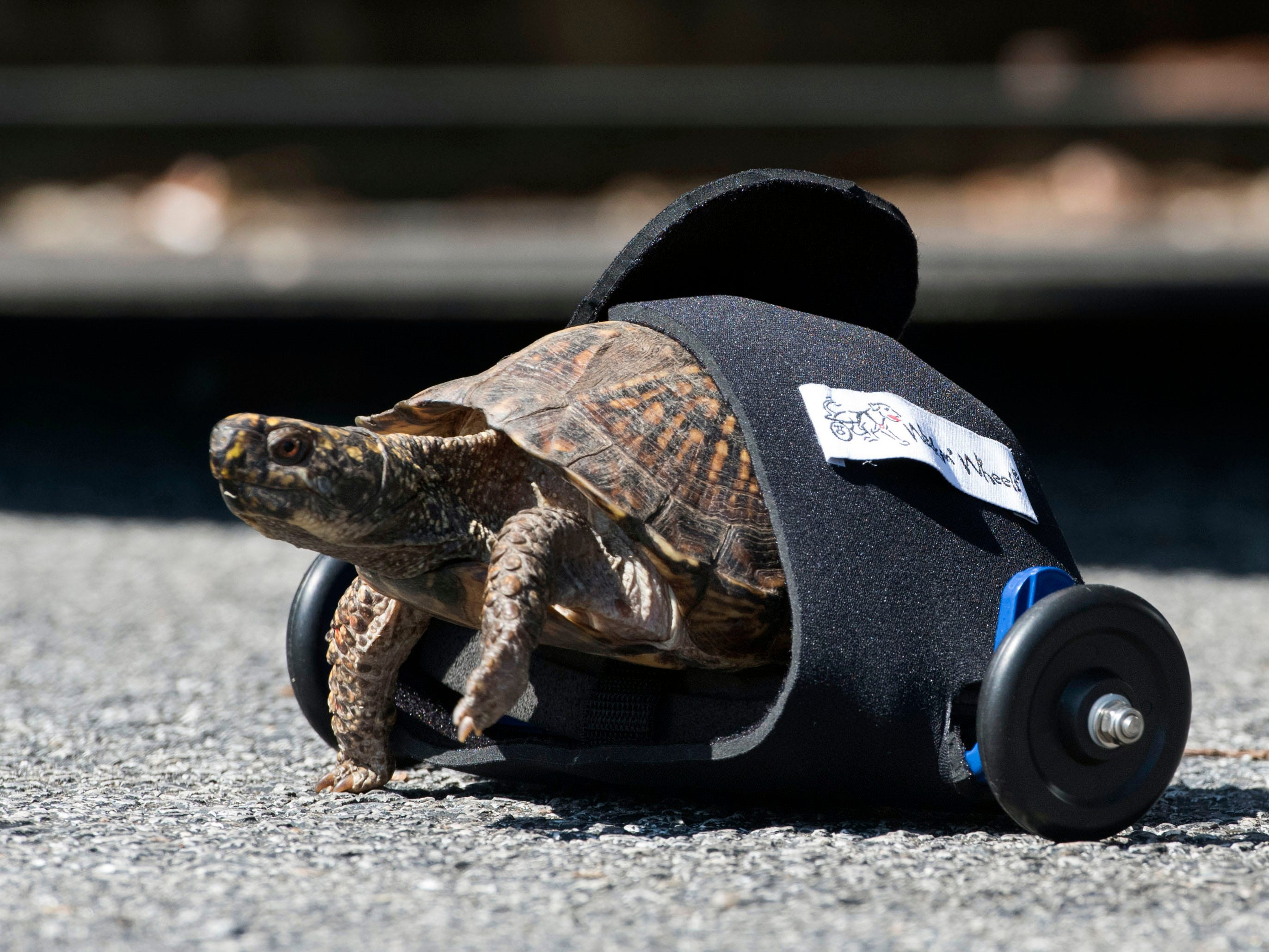 Scoot Reeves takes a walk around the parking lot a the Hillman Veterinary Clinic on North Palafox Street on Wednesday, May 15, 2019. The veterinary professionals at Hillman have outfitted the box turtle with wheels to give the reptile renewed mobility after an accident damaged its hind legs.