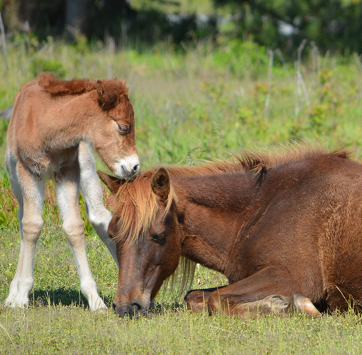 New foal born on Assateague Island