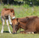 Assateague horses love a 'pic-a-nic' basket. But save them from deadly human, pet food
