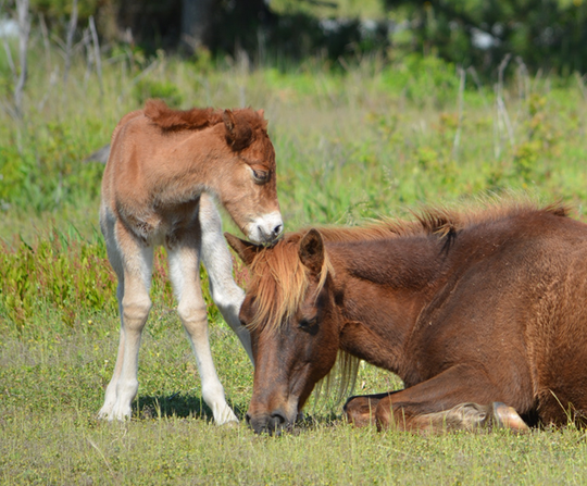 """Early Saturday morning, May 11, 2019, N2BHS-A (""""Gokey GoGo Bones"""") gave birth to a chestnut filly, according to a news release from the National Park Service. The new foal, N2BHS-AR, and band live most of the year in the very busy developed area and campgrounds."""