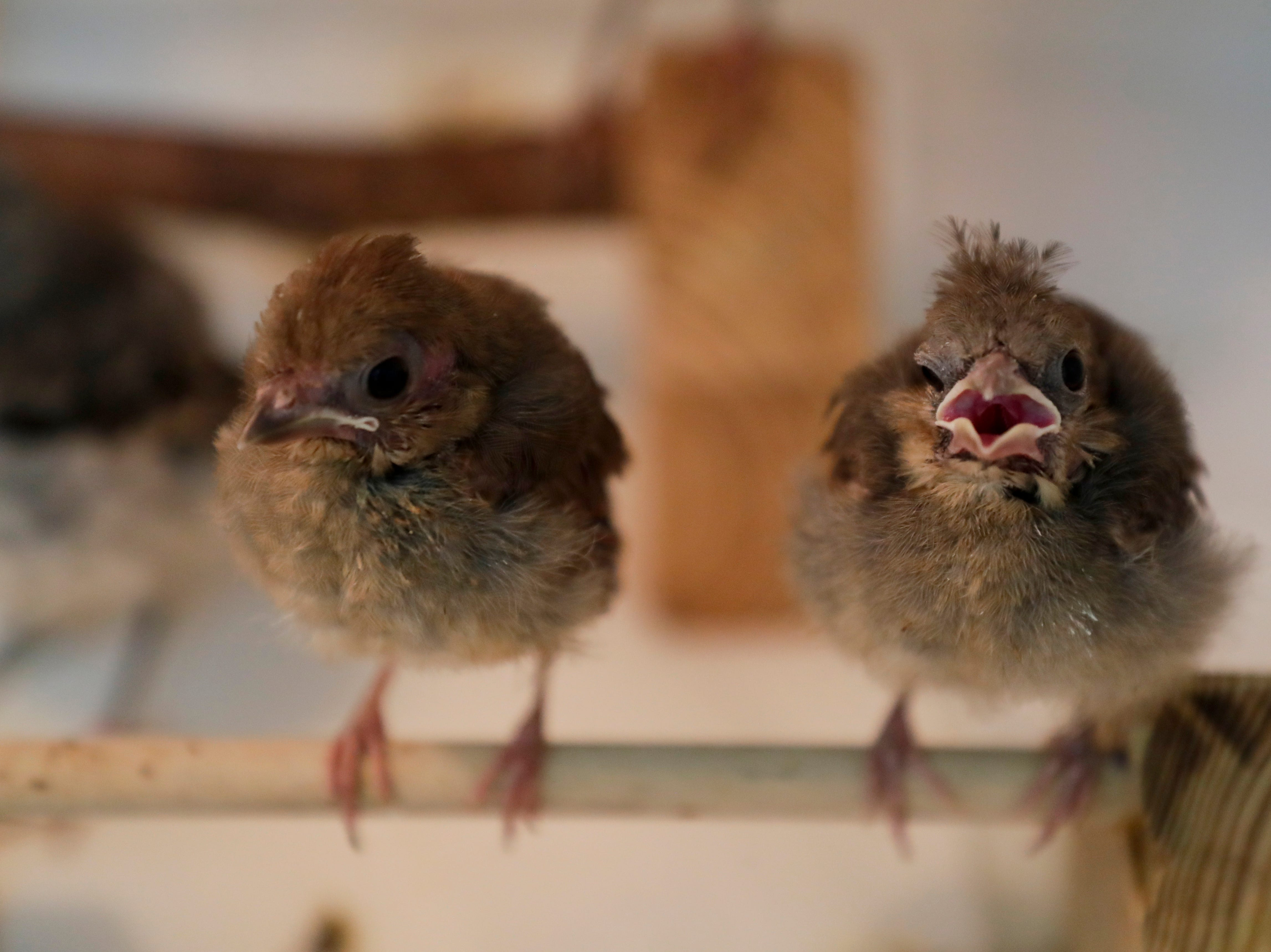 Baby songbirds sing at St. Francis Wildlife Hospital Monday, May 13, 2019.