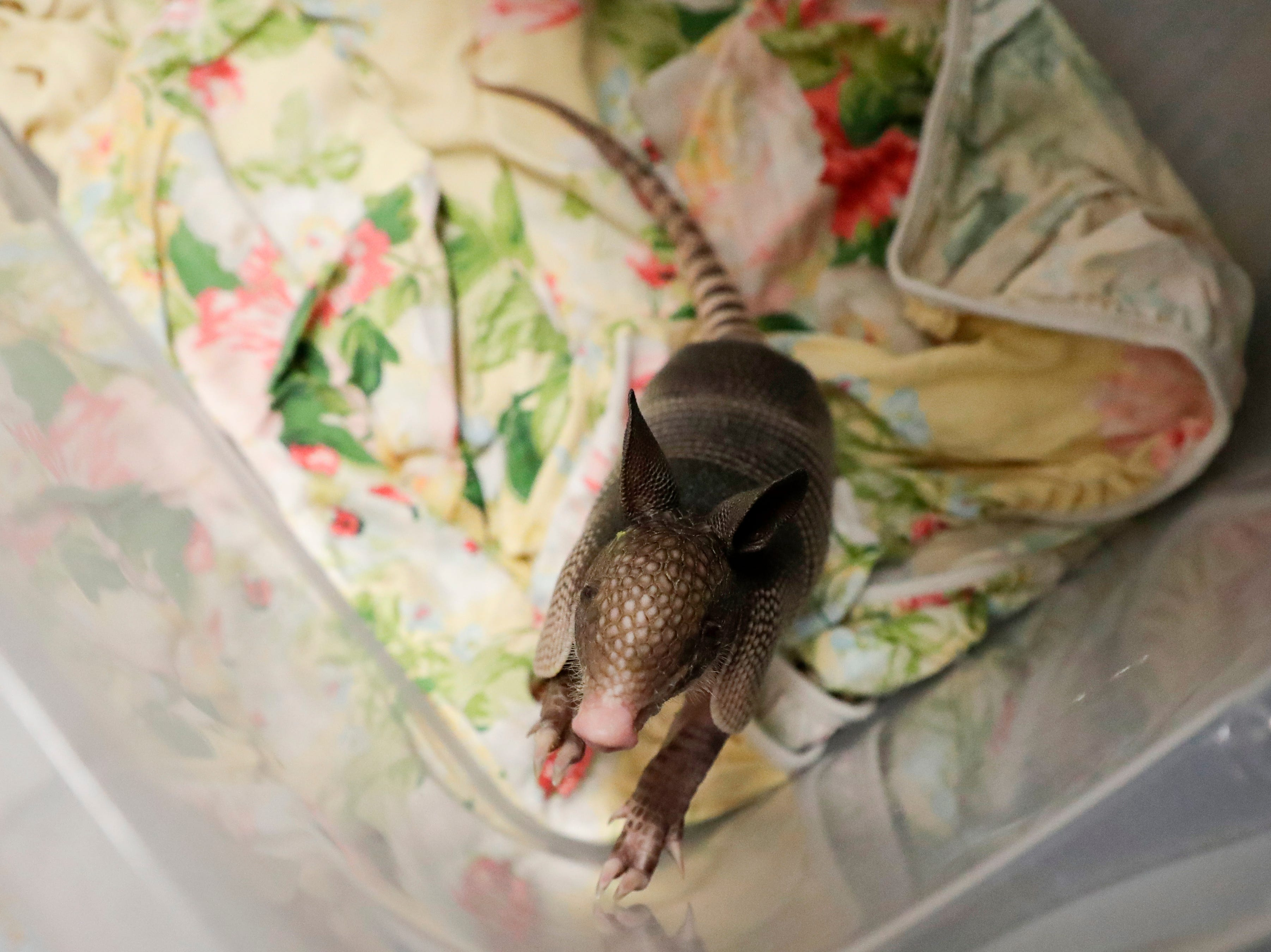 A baby armadillo looks around from its enclosure at St. Francis Wildlife Hospital Monday, May 13, 2019.