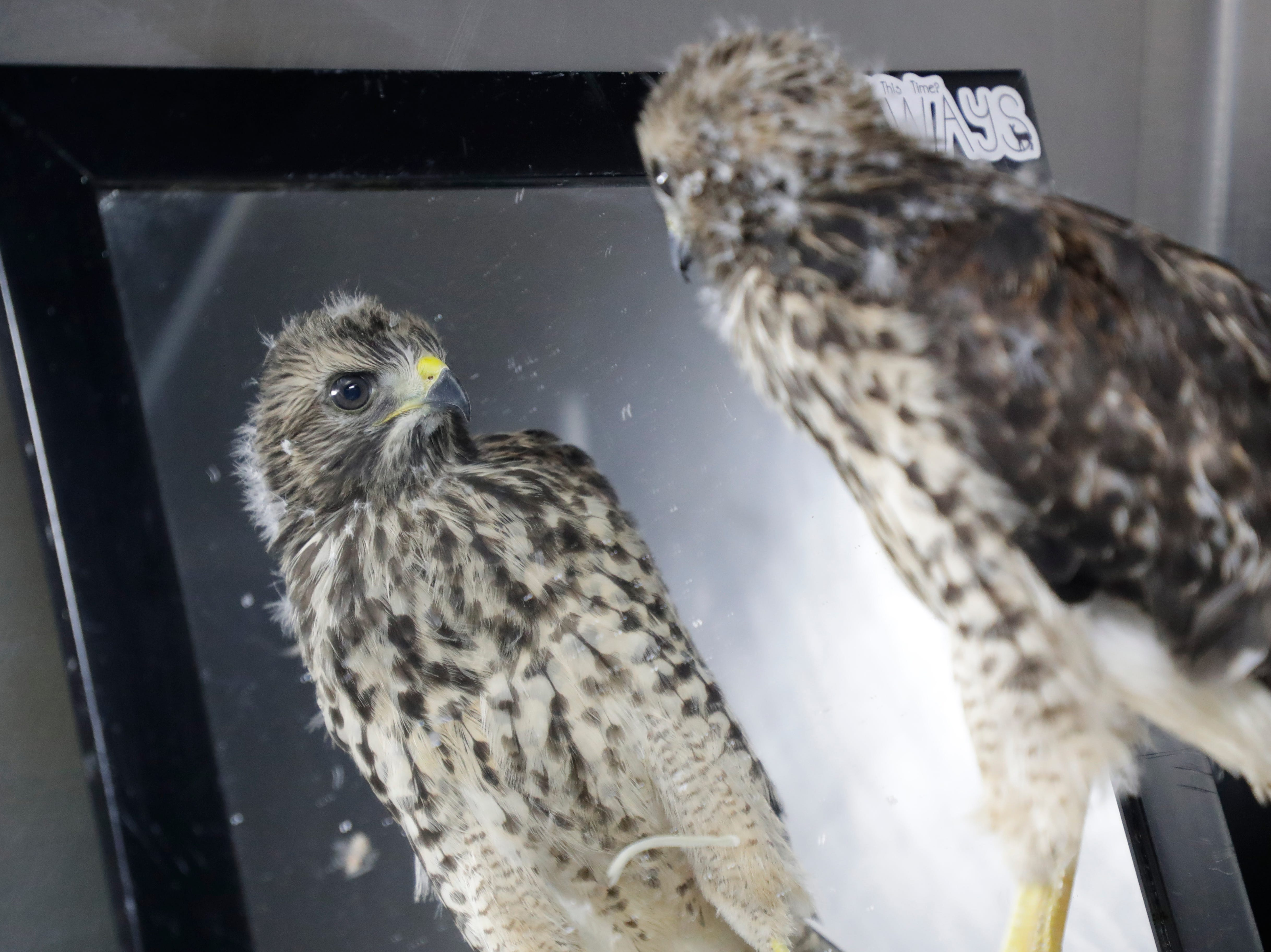 A red shouldered hawk stares at its own reflection in a mirror in its enclosure at St. Francis Wildlife Hospital Monday, May 13, 2019.