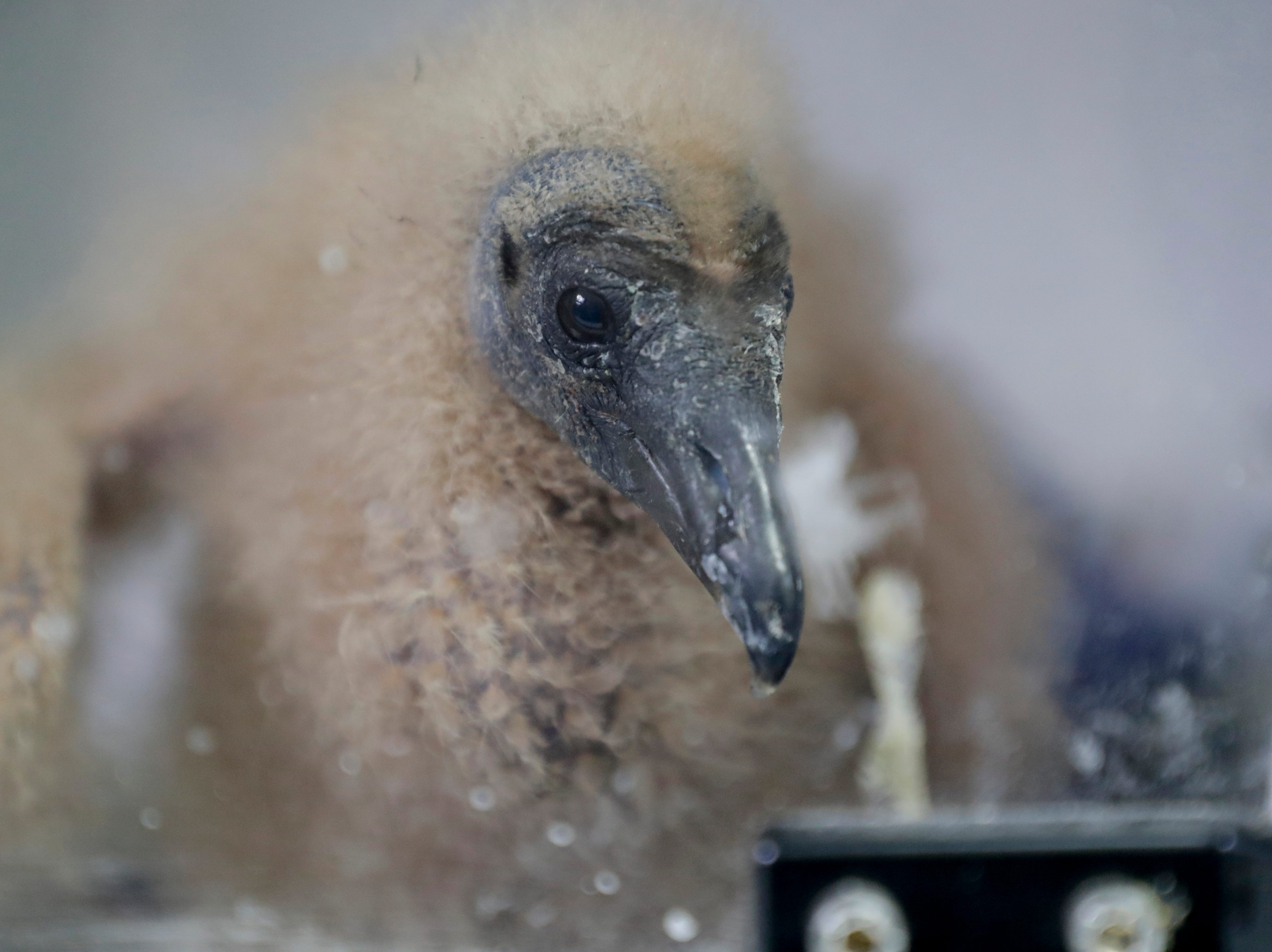 A baby black vulture begs for food at St. Francis Wildlife Hospital Monday, May 13, 2019.