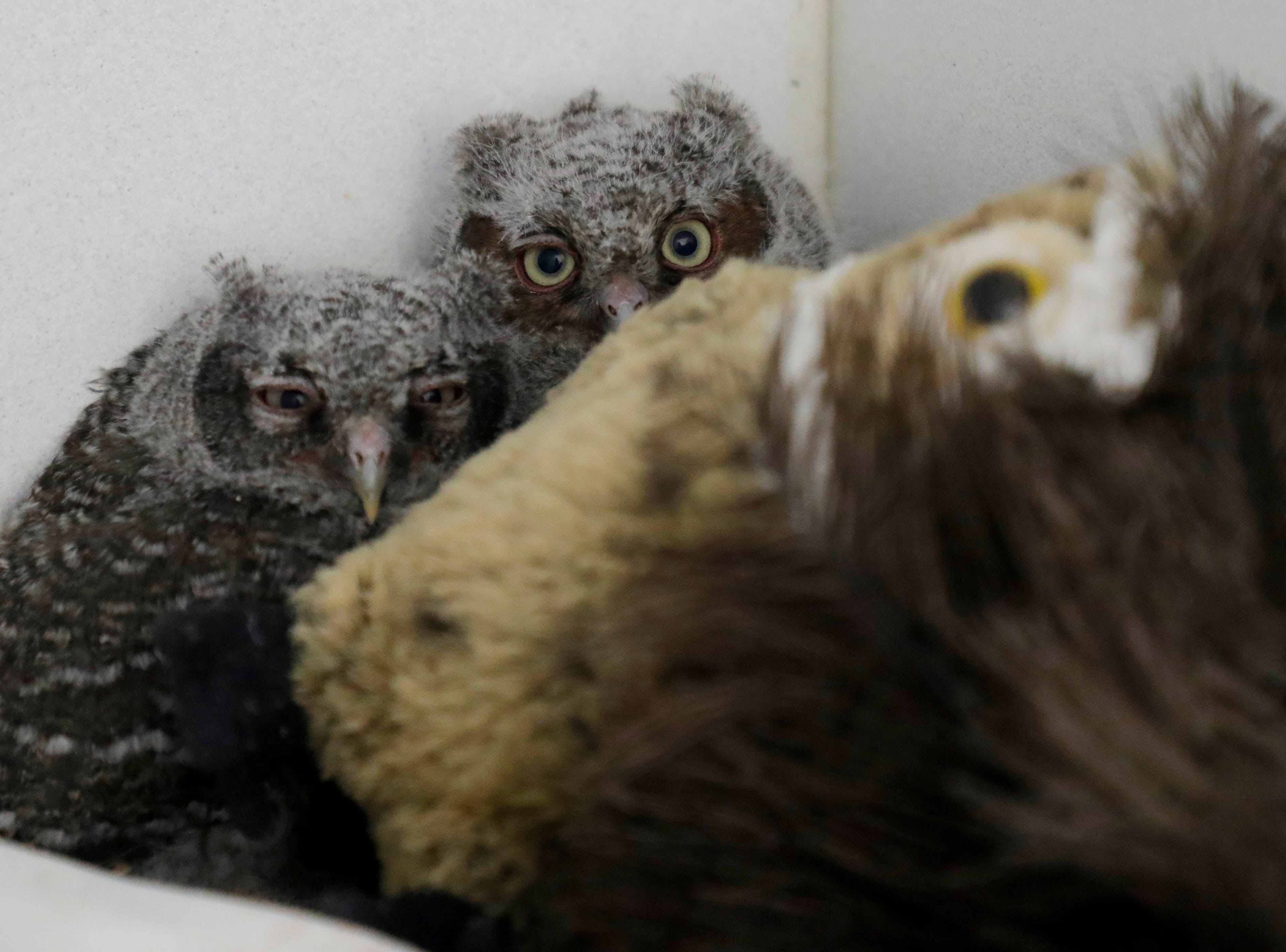 Baby screech owls hide shyly in their enclosure at the St. Francis Wildlife Hospital Monday, May 13, 2019.