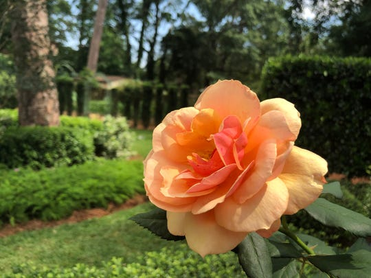 A beautiful rose at garden of Kathryn Brenner, on Tour of Gardens.