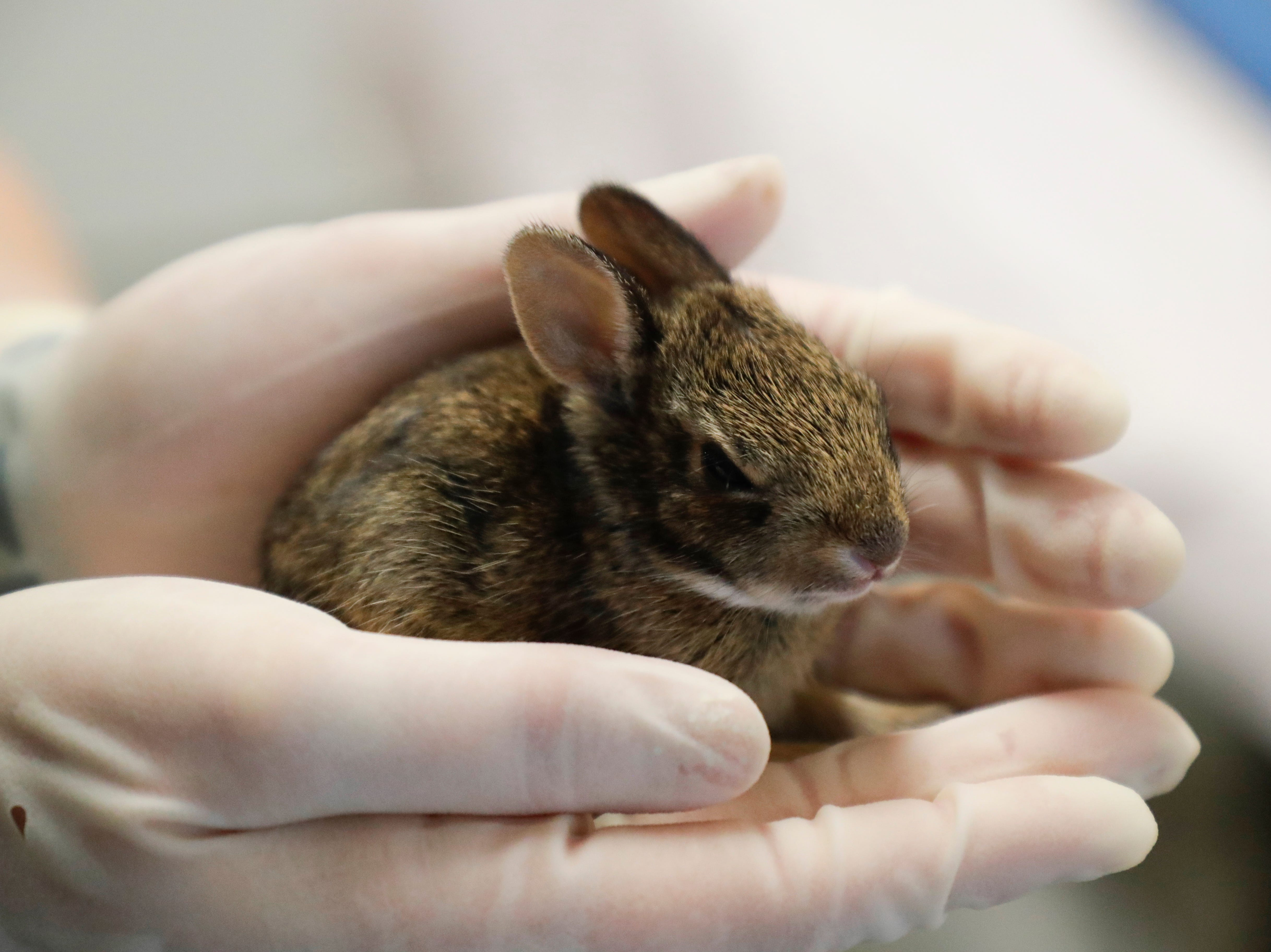 Wildlife technician Kayla Gainer holds a baby cottontail rabbit at St. Francis Wildlife Hospital Monday, May 13, 2019.