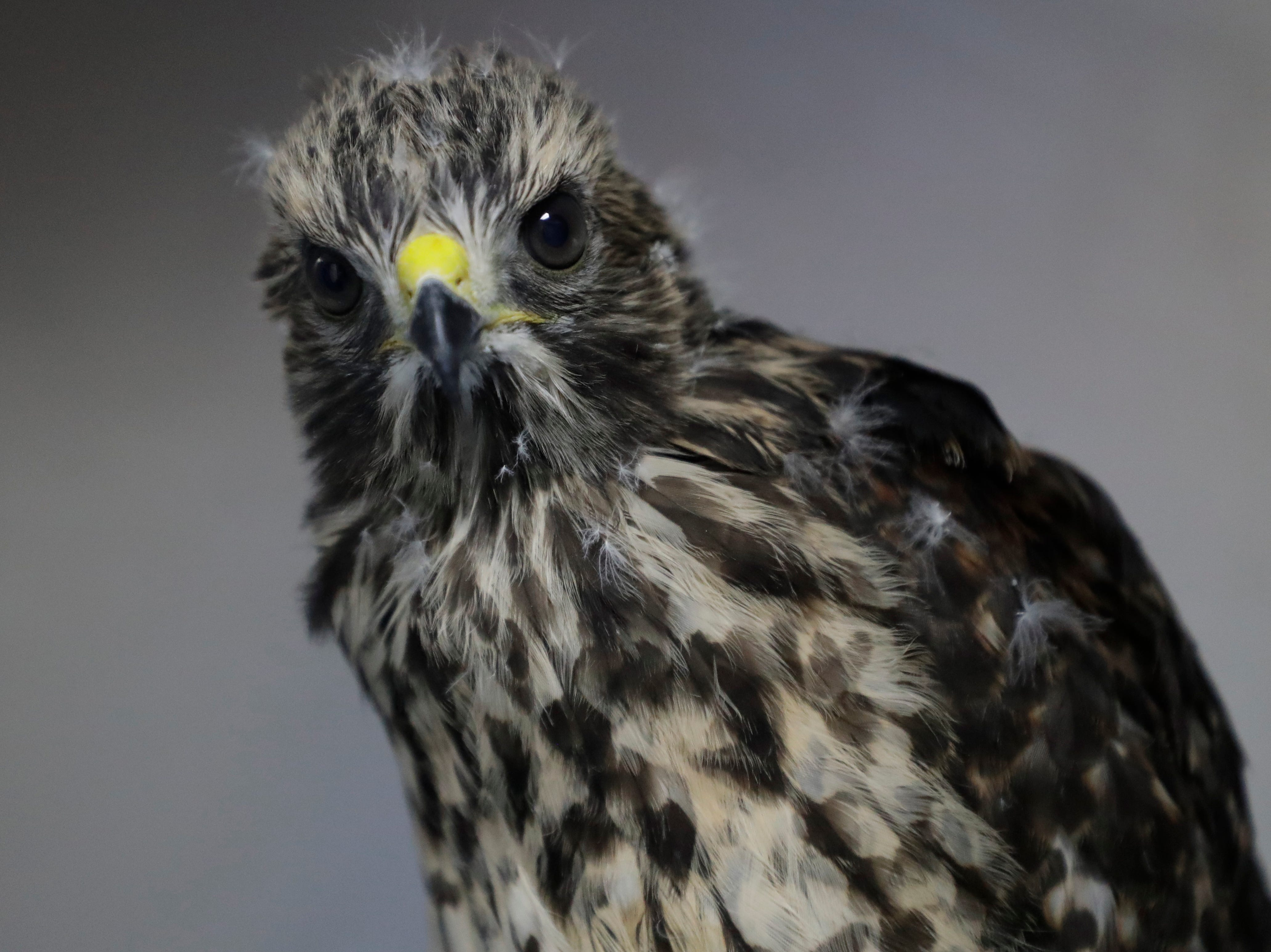 A red shouldered hawk sits in its enclosure at St. Francis Wildlife Hospital Monday, May 13, 2019.