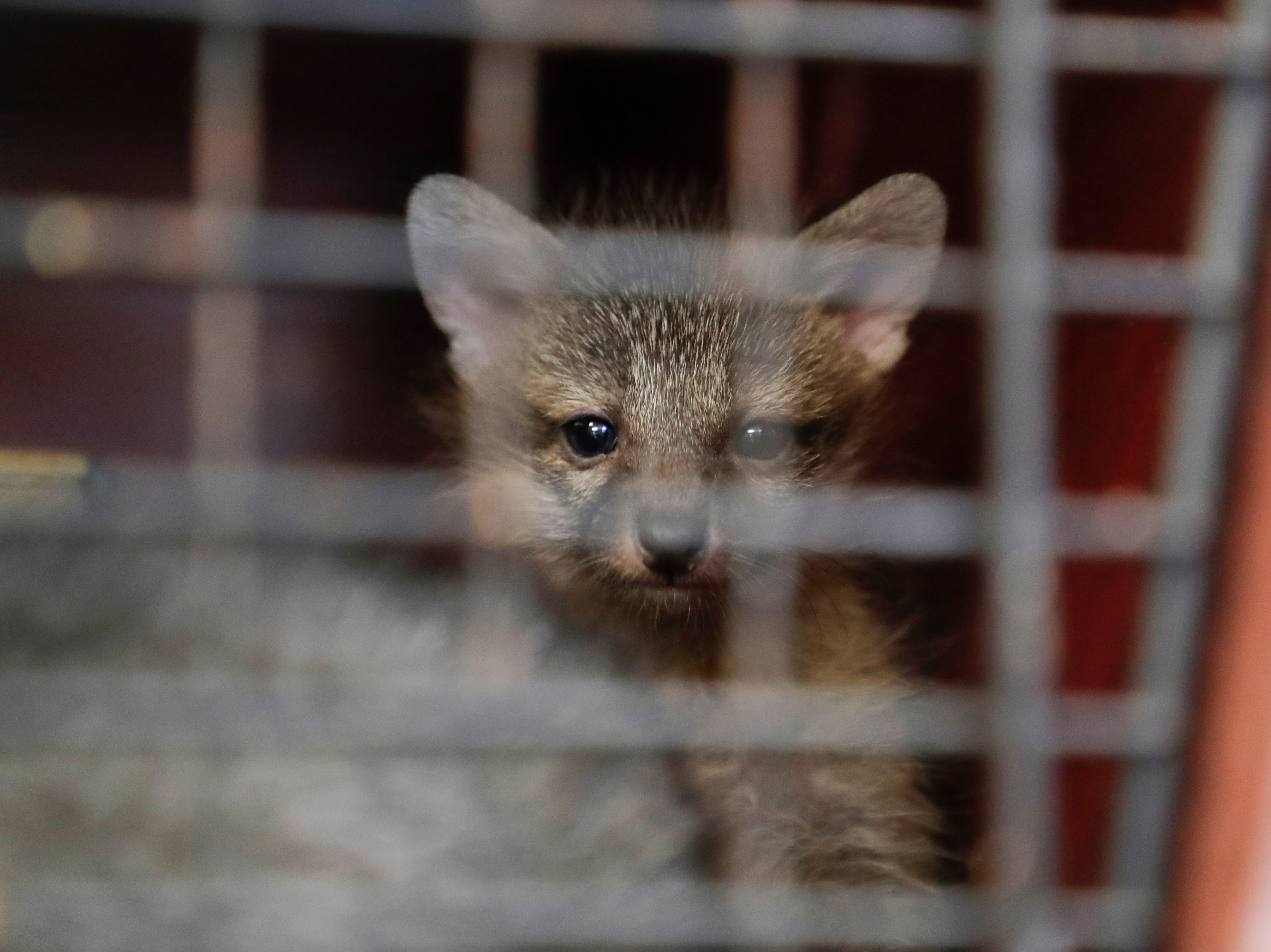 An orphaned fox looks out from its cage at St. Francis Wildlife Hospital Monday, May 13, 2019.